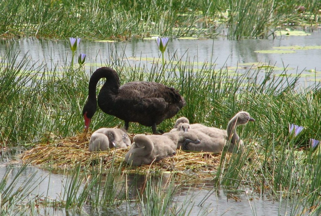 Swan and 5 signets cell H - credit M Bingham 26 March 07