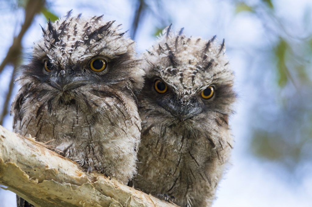 tawny frog mouth chicks - credit D Pearce